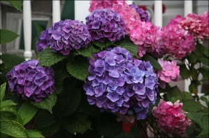 pink and purple hydrangeas, Ocean Grove