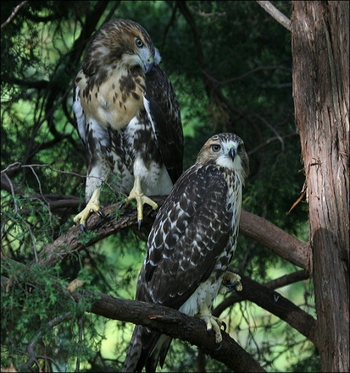 red tail hawk, Pale Male offspring, Ginger offspring, Central Park,