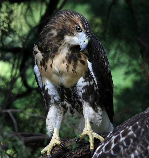 red tail hawk, New York City