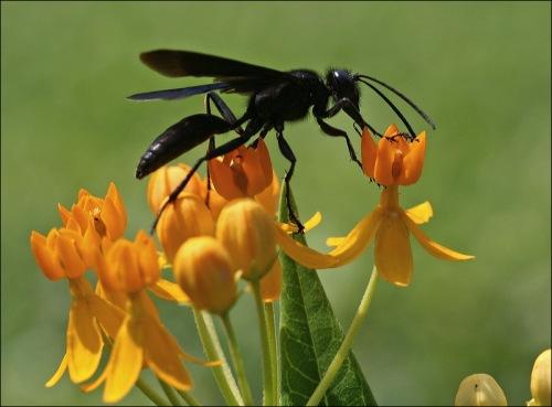 Roosevelt Island, sphex pensylvanicus, great black wasp