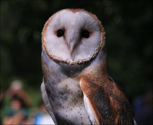owl, raptor