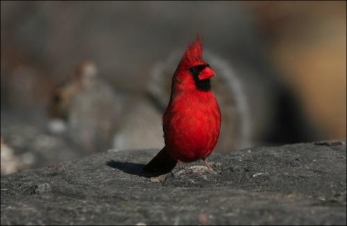 cardinal, central park