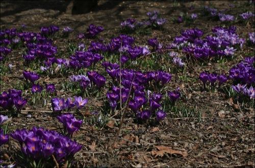 You come across a field of purple crocuses