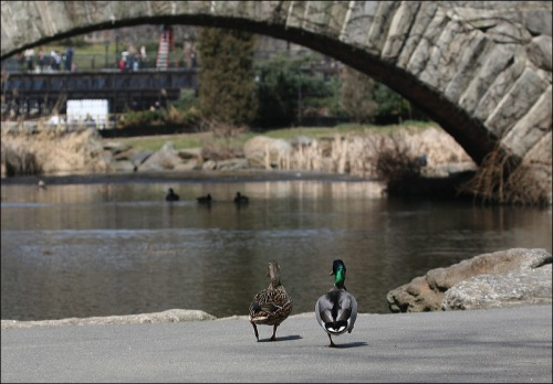 Central Park, stone bridge, two ducks, mallard, New York City