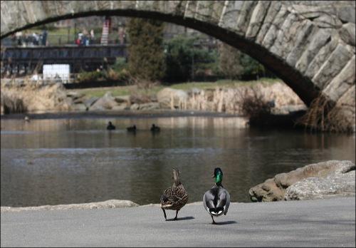 Central Park, stone bridge, two ducks, mallard, New York City