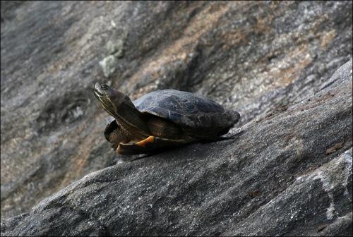turtle, Central Park pond