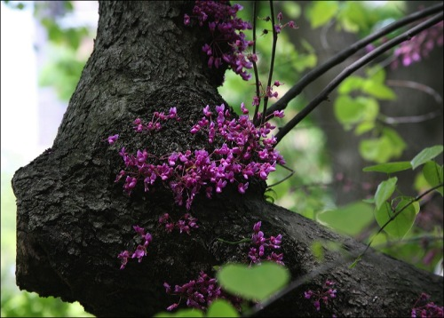 purple flowers, green heart, spring in New York City