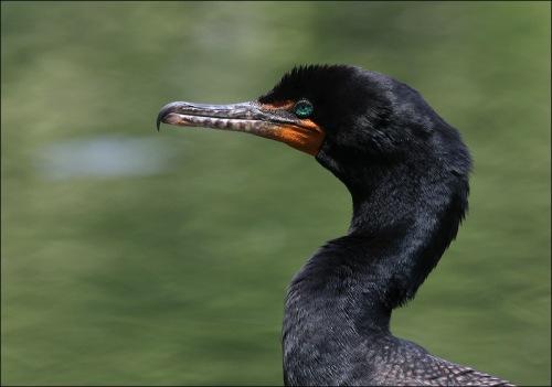cormorant,