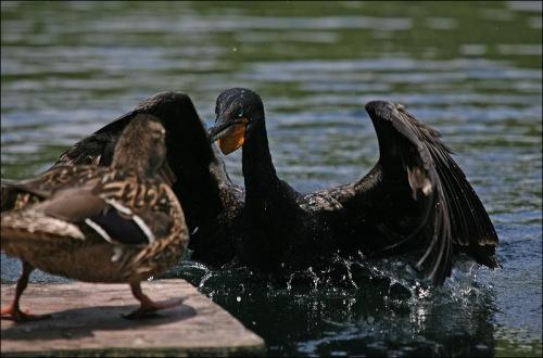 cormorant, duck, duckling,