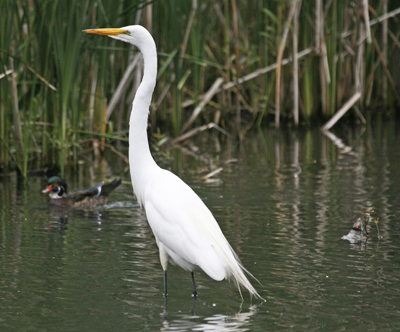 white egret, Hallet Nature Sanctuary, Central Park