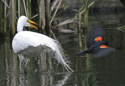 Hallet Nature Sanctuary, Egret, Red wing blackbird