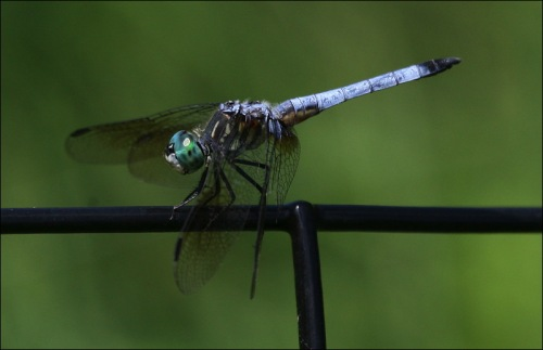 dragonfly, Central park