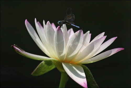 dragon flies, water lilly