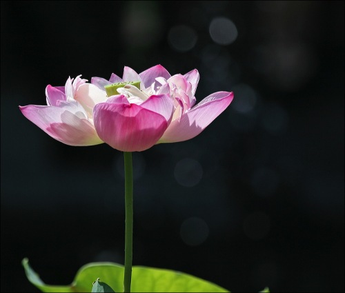 lotus, pink water lilly, Central Park
