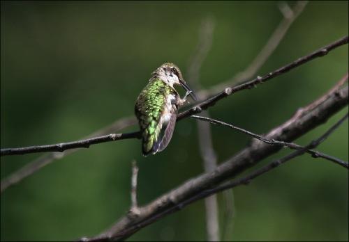 hummingbird, Murray Head, central park