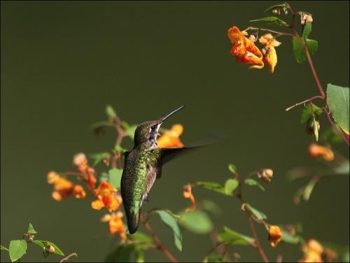 hummingbird, central Park, Murray Head