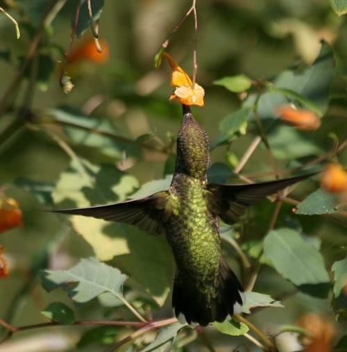hummingbird, central park