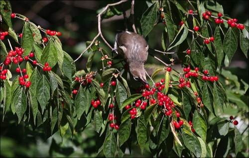 red berries, cedar waxwing