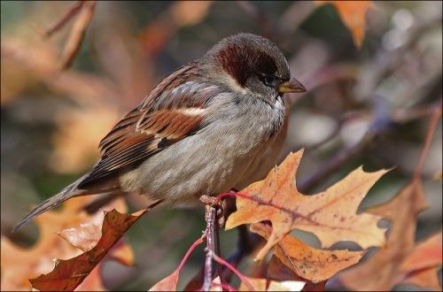 Central park, New York City, house sparrow