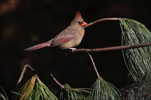 lovely lady cardinal, central park, red cardinal
