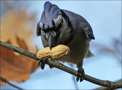 Blue Jays Are Known Thieves!