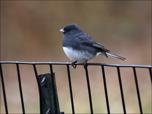 A Slate Junco Sitting Pretty