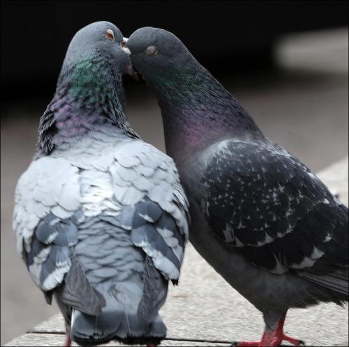 Do Pigeons Really Kiss?
