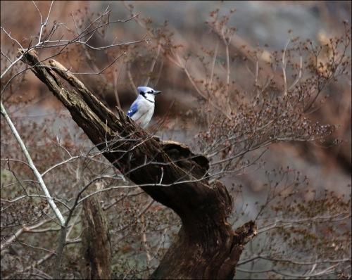 Blue Jay On A Dead Tree