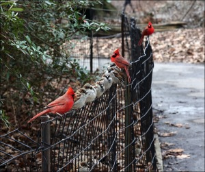 Three Red Cardinals