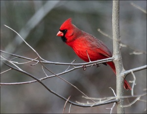 A Christmas Card Cardinal