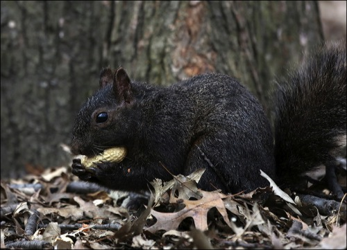 A Black Squirrel making off with a peanut!