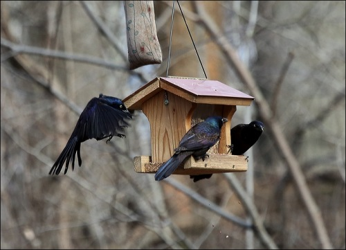 Love that Grackle on the Left
