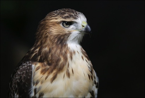 A Beautiful Young Red Tail Hawk