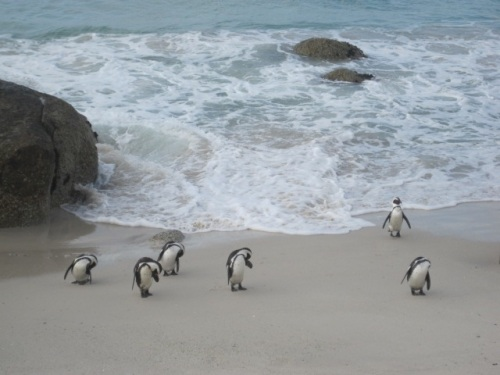 Boulders Beach  Cape Town, South Africa