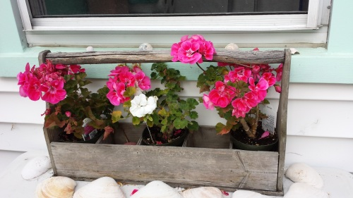 YES Geraniums in November