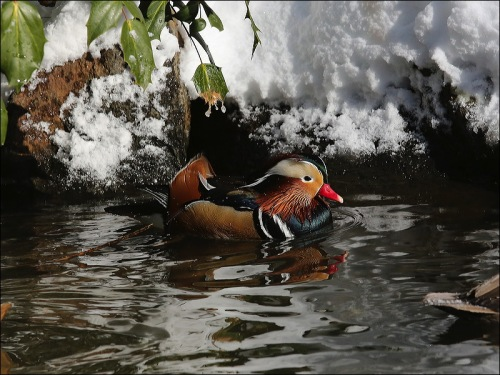 A Wood Duck in Winter
