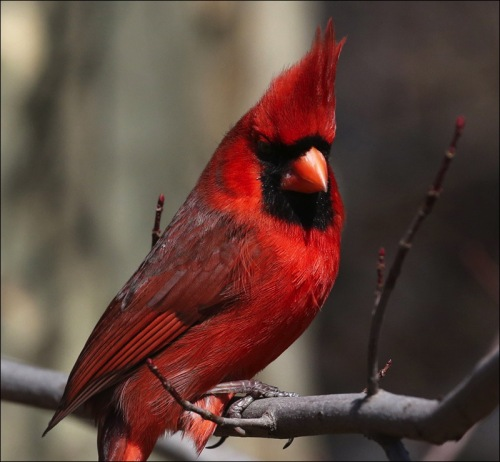 Regal Red Cardinal