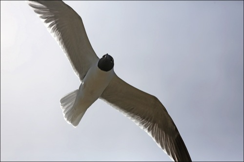 The Black-Headed Gull is known as a Laughing Gull