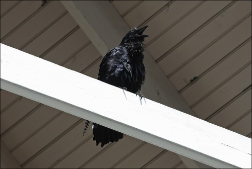 I just love crows!!