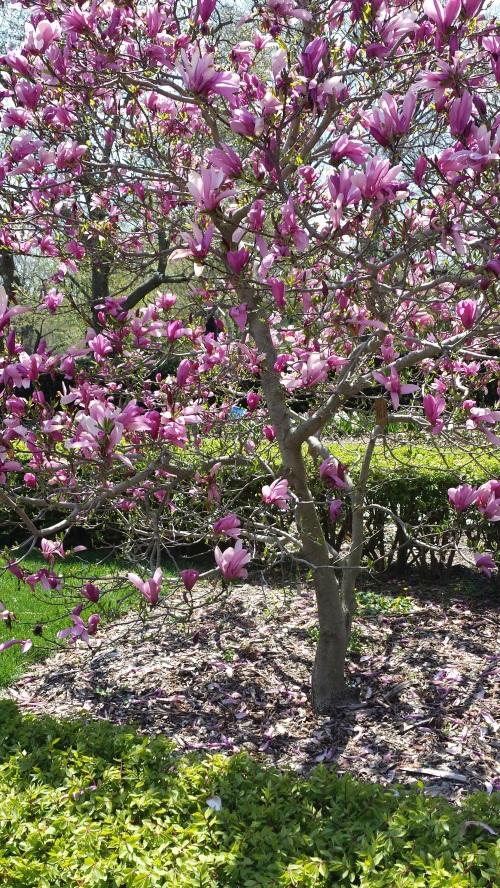 Deep Pink Magnolias