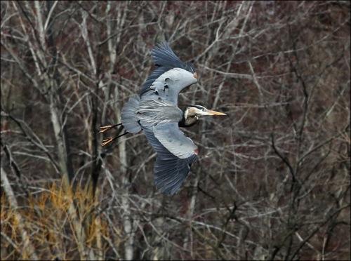 Beautiful Blue Heron