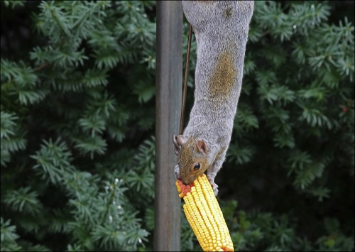 Squirrel On The Corn Wheel