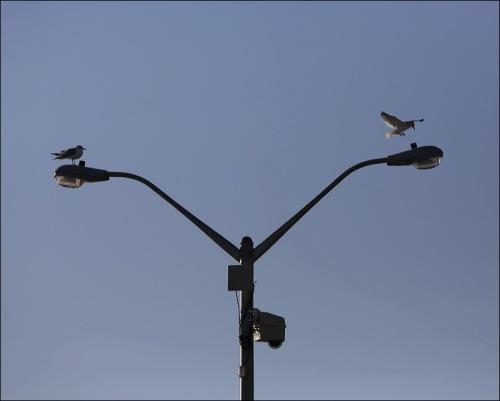 Libra Gulls