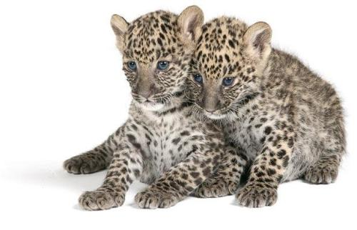 Cutesy Cubs